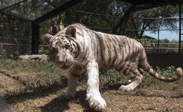 Quand la poste mexicaine découvre dans ses colis un bébé … Tigre !